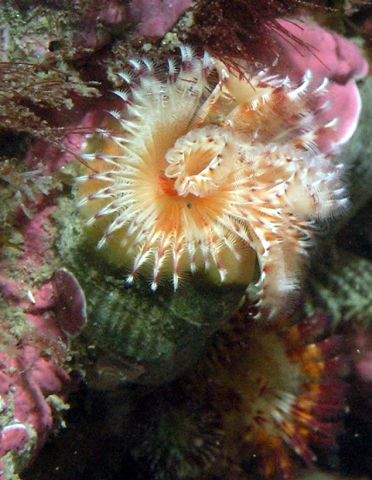 Red-Trumpet Calcareous Tubeworm (Serpula columbiana)