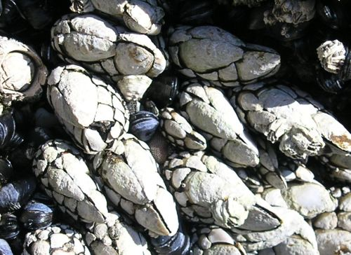 Goose Barnacle (Pollicipes polymerus)