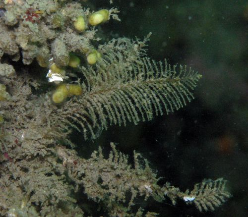 Sea Fir (Abietinaria sp)