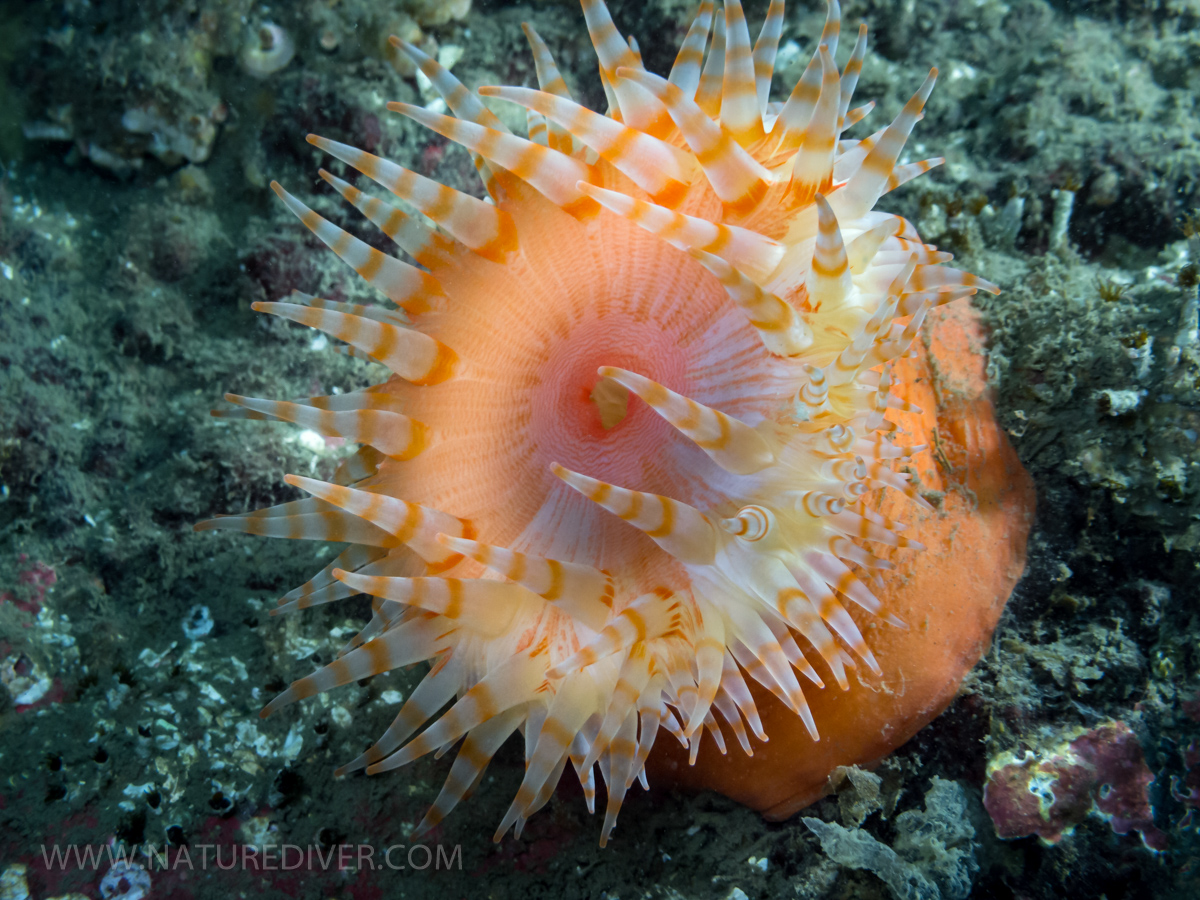 Swimming Anemone (Stomphia didemon) 1