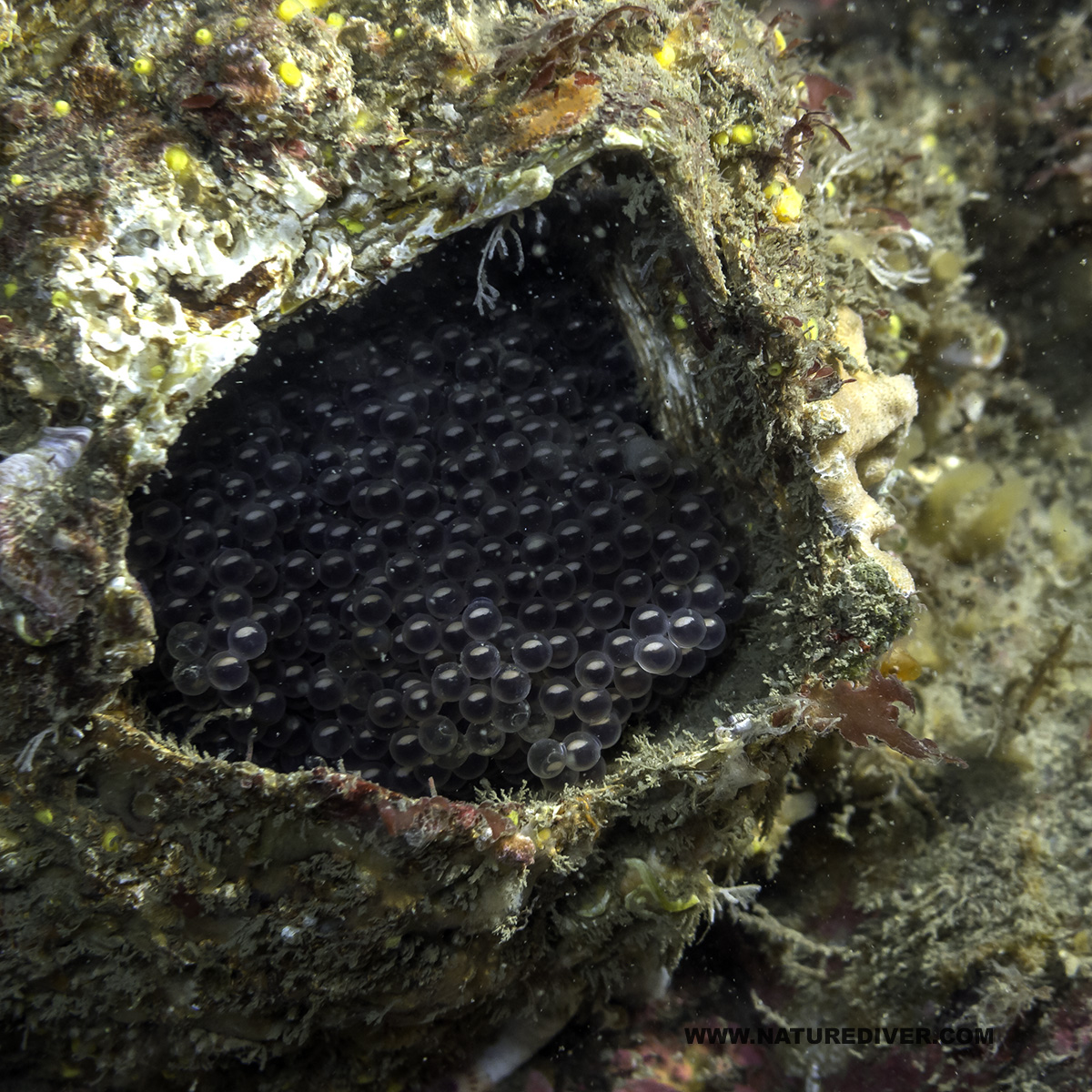 Fish eggs in Giant Barnacle