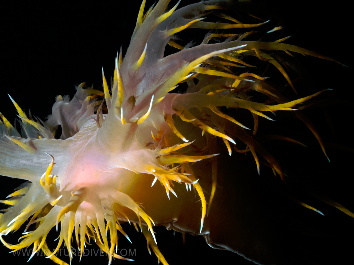 Giant Nudibranch (Dendronotus irus)4