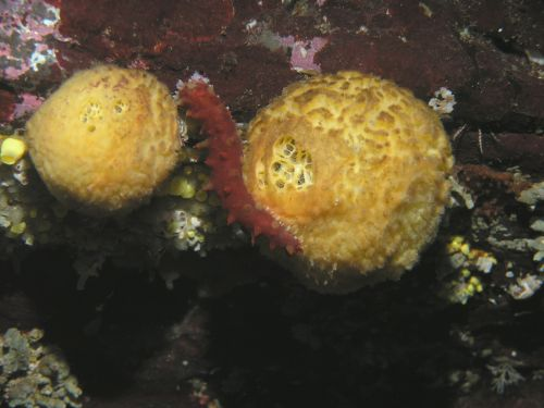 Orange Ball Sponge (Tethya californiana)
