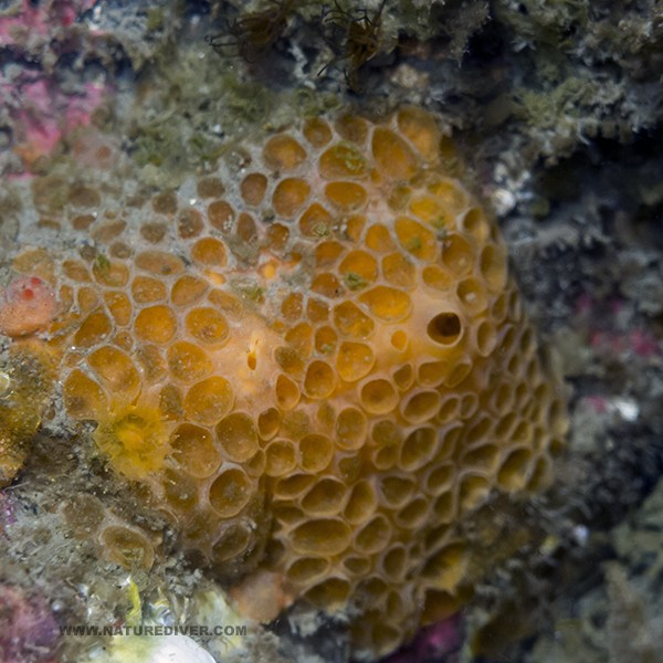Orange Cratered Encrusting Sponge (Hamigera sp)