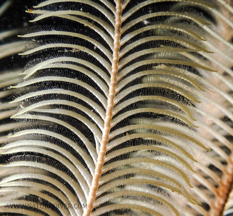 Feather Star (Florometra serratissima) - macro