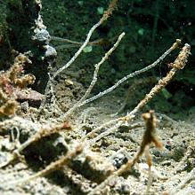 Jointed Tubeworm (Spiochaetopterus costarum)