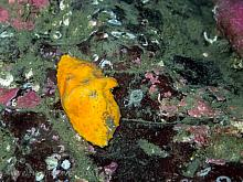 Butterfly crab (Cryptolithodes typicus)