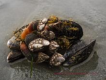 Goose-neck Barnacles (Pollicipes polymerus)