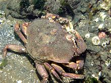 Graceful Crab (Cancer gracilis)
