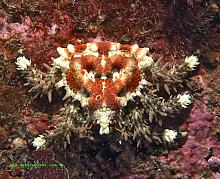 Heart Crab (Phyllolithodes papillosus)