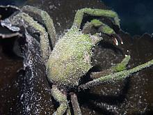 Northern Kelp Crab (Pugettia producta)