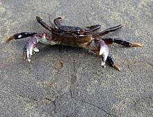 Purple Shore Crab (Hemigrapsus nudus)