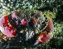 Pygmy Rock Crab (Cancer oregonensis)