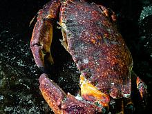 Red Rock Crab (Cancer productus) 2