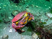 Red Rock Crab (Cancer productus) 3