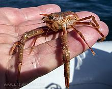 Squat lobster (Mundida quadrispina)