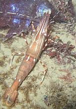 Two Spotted Prawn (Pandalus platyceros)