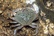 Yellow Shore Crab (Hemigrapsus oregonensis)