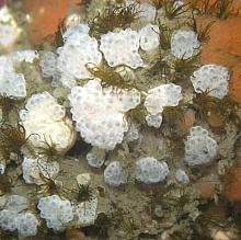 Mushroom Compound Tunicate (Distaplia occidentalis)