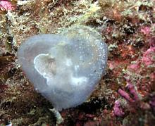 Transparent Sea Squirt (Corella willmeriana)