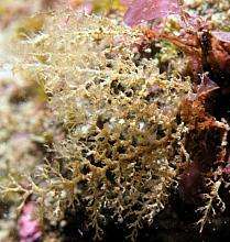 Brown Bushy Hydroid (Eudendrium californicum)
