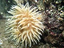 Painted Anemone (Urticina crassicornis) tan colour