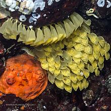 Leafy Hornmouth Eggs and Creeping Pedal Sea Cucumber