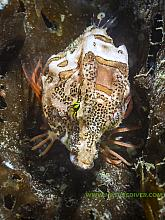 Grunt Sculpin (Rhamphocottus richardsonii) 2