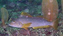 Kelp Greenling (Hexagrammos decagrammus)-female