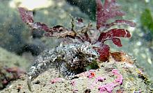 Scaleyhead Sculpin (Artedius harringtoni)