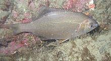 Striped Perch (Embiotoca lateralis)