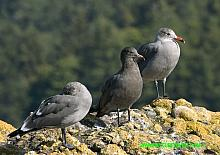 Heermanns Gull (Larus heermanni)