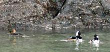 Hooded Merganser - male and female