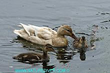 Mallard - female with ducklings