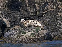Harbour Seal (Phoca vitulina)