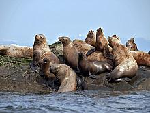 Steller Sea Lion (Eumetopias jubatus)