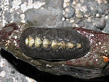 Black Leather Chiton (Katharina tunicata)