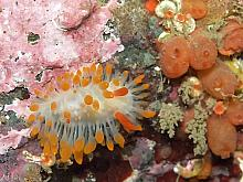 Cockerell's Nudibranch (Limacia cockerelli)