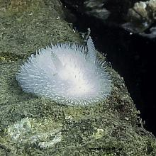 Hairy Spiny Doris (Acanthodoris pilosa)