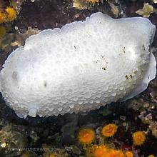 White Nudibranch (Doris odhneri)