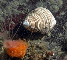 Channelled Topsnail (Calliostoma canaliculatum)