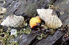 Frilled Dogwinkles (Nucella lamellosa)
