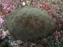 Giant Gumboot Chiton (Cryptochiton stelleri)
