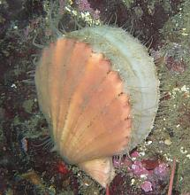 Pacific Pink Scallop