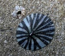 Pacific Plate Limpet (Tectura scutum)