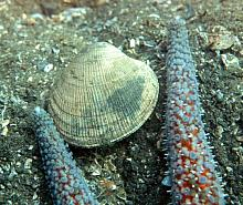 Smooth Cockle (Clinocardium blandum)