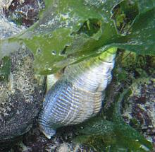 Spindle Whelk (Searlesia dira)