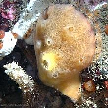 Smooth Scallop Sponge (Mycale adhaerens)