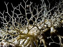 Basket Star (Gorgonocephalus eucnemis)