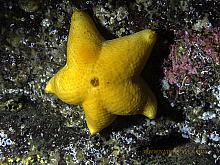 Cushion or Slime Star (Pteraster tesselatus)